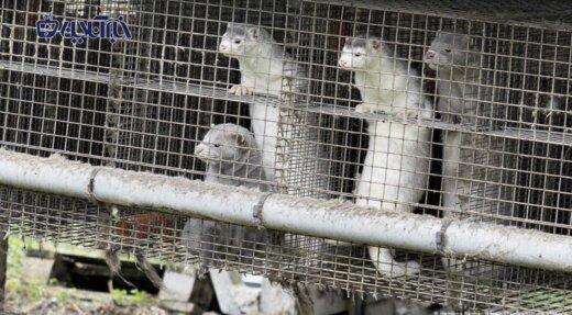 عکس | جدیدترین قربانیان کرونا: نسل کشی ۱۷ میلیون سمور در دانمارک