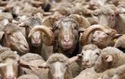 نقش دلالان و قاچاق دام بر کاهش نیافتن قیمت گوشت قرمز