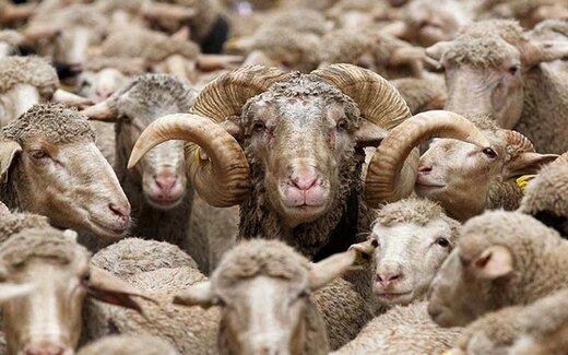هشدار رییس اتحادیه گوشت گوسفندی به کشتار برههای ماده/ وضعیت بازار گوشت در هفتههای آینده