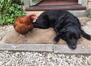 ببینید | تلاش تماشایی و جالب سگ برای جلوگیری از قطع سر یک مرغ