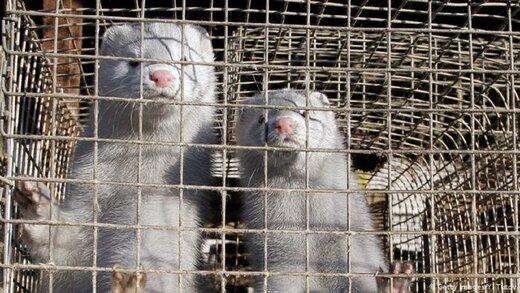 کدام حیوانات پتانسیل آلودگی به ویروس کرونا را دارند؟
