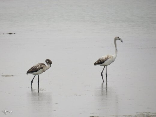 کاهش فلامینگوهای دریاچه ارومیه به دلیل شور شدن بیش از حد آب