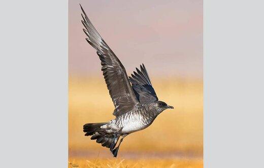 پرنده ''اسکوای قطبی'' برای اولین بار در تالاب گندمان مشاهده شد