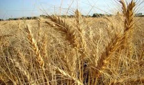 ۱۳۵هزار هکتار از مزارع قزوین به زیر کشت گندم رفت
