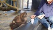 ببینید | واکنش بسیار خندهدار و دیدنی میمون به شعبدهبازی