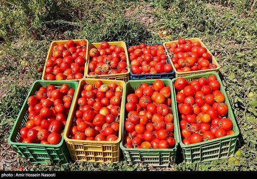 کاهش قیمت گوجه به ۴ هزارتومان تا ۲ هفته آینده