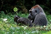 ببینید | سورپرایز ویژه گوریلهای کنجکاو برای چند توریست
