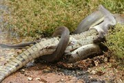ببینید | ویدیویی باورنکردنی از بلعیدن تمساح توسط مار پیتون