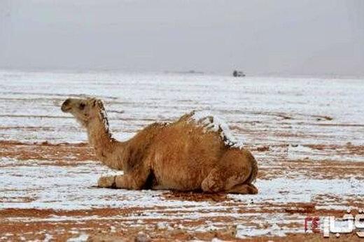 ببینید   شتران صحرا در برف!