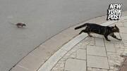 ببینید | موشی که به جای فرار گربهها را تعقیب میکند!