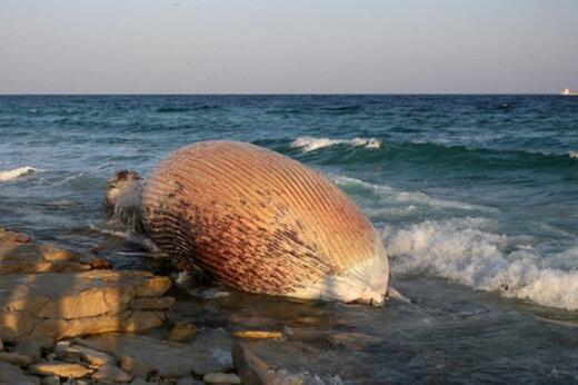 ببینید   پیدا شدن لاشه یک نهنگ در ساحل سیمرغ کیش