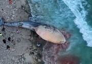 علت مرگ یک نهنگ در سواحل کیش چه بود؟