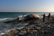 ببینید | تصاویر تلخ و بسیار دردناک از نهنگ ۵ تنی در سواحل کیش