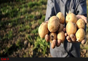 آشفته بازار صادرات سیب زمینی/ احتمال تکرار سناریوی صادرات گوجه فرنگی