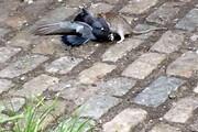 ببینید | اتفاقی باورنکردنی؛ شکار یک کبوتر توسط موشی گرسنه!