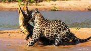 ببینید | حمله باورنکردنی و وحشتناک جگوار به تمساح