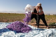 هر کیلو زعفران در بازار چند؟