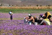 راهاندازی شرکت تعاونی زعفرانکاران در چهارمحال و بختیاری ضروری می باشد