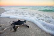 رهاسازی بچه لاکپشت و پایش مناطق تخمگذاری لاکپشتهای دریایی نوار ساحلی