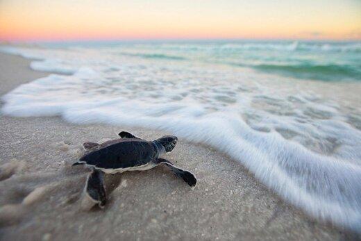 حفاظت محیط زیست: لاکپشت حیوان خانگی و تزیین سفره هفت سین نیست