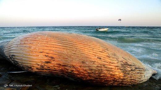 علت تلف شدن نهنگها در سواحل خلیج فارس چیست؟
