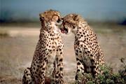 ببینید |  تصاویری منحصر بفرد از دو قلاده یوزپلنگ آسیایی در سمنان