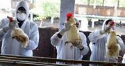 جمعآوری ۱۱۰۰ لاشه پرنده مبتلا به آنفلوآنزا از میقان