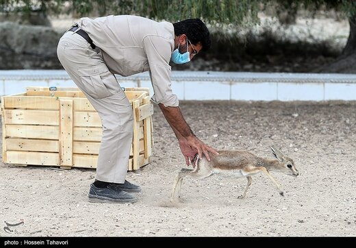 رهاسازی آهوی ایرانی در کیش