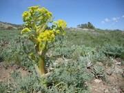 آغاز اجرای کشت گیاه دارویی باریجه و زیره کوهی در ۱۵۰هکتار ازمراتع شهرستان سمنان در سال ۹۹