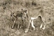 ببینید | باورنکردنیترین اتفاق جهان؛ شیر ماده یک بچه آهو را به فرزندخواندگی پذیرفت