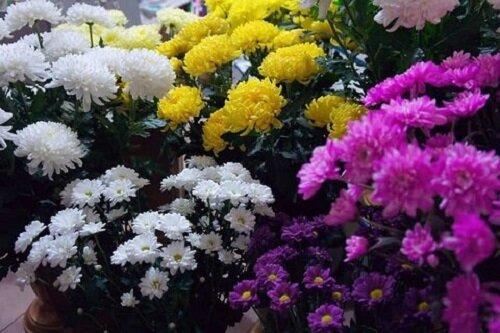 تور مجازی جشنواره گلهای داوودی کاخ مروارید را از دست ندهید