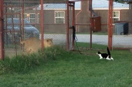 ببینید   بازی بسیار خندهدار یک گربه شجاع با شیر