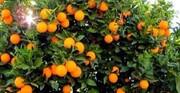 نبض بازار در اختیار دلالان؛ دغدغههای ادامهدار باغداران قیروکارزینی