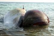 ببینید | علت مرگ دو نهنگ که در ساحل کیش به گِل نشستند، مشخص شد