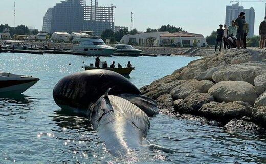 پدیدار شدن دومین لاشه نهنگ در آب های ساحلی کیش