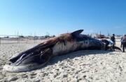 انتقال لاشه نهنگ به ساحل جهت انجام بررسی های اولیه