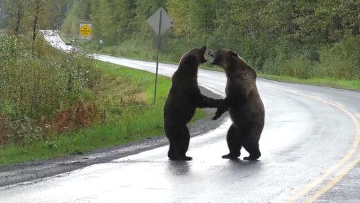 ببینید | دعوای وحشتناک، خونین و رعبانگیز دو خرس گریزلی وسط خیابان