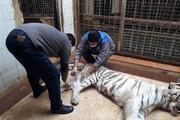 ببینید | نزاع مرگبار دو ببر در باغ وحش ارم