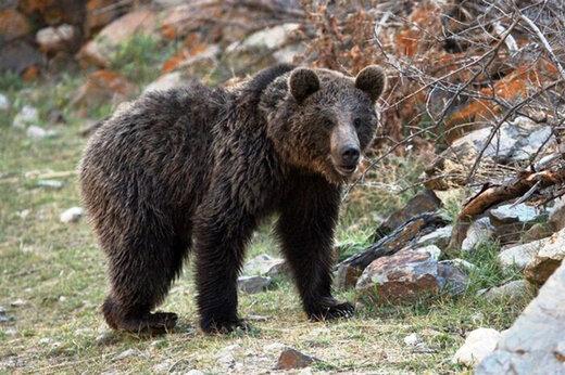 ببینید | ویدیویی نادر از مشاهده خرس قهوهای در ارتفاعات ارومیه