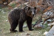 ببینید   روایت عجیب نجات خرس قهوهای ارتفاعات برفگیر کجور