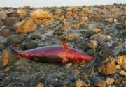 مرگ دلفین چرخنده در سواحل کیش
