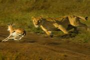 ببینید | دریبل رونالدینیویی یک غزال به شیر وحشی!