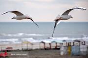 تصاویر | پرواز مرغان دریایی در سواحل آستارا