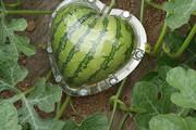 ببینید   رونمایی از میوههایی با شکلهای عجیب و منحصر بفرد