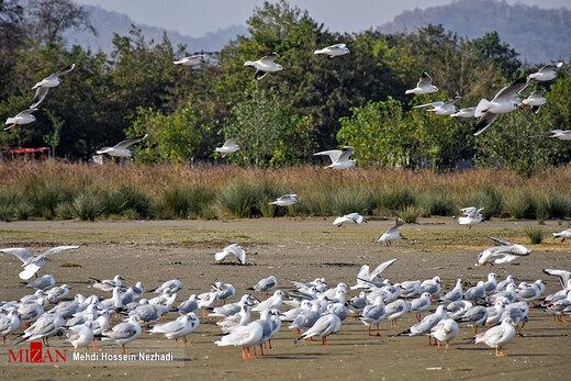 مرغان دریایی در سواحل آستارا