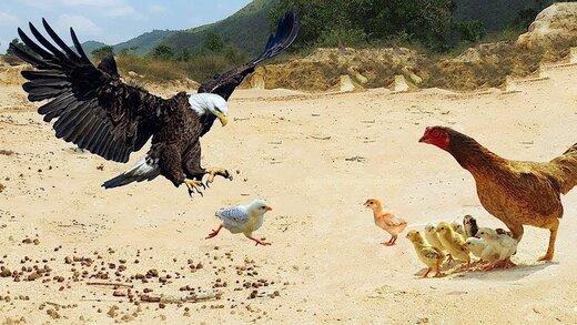 ببینید   مبارزه جانانه و باورنکردنی یک مرغ با عقاب تیزچنگال