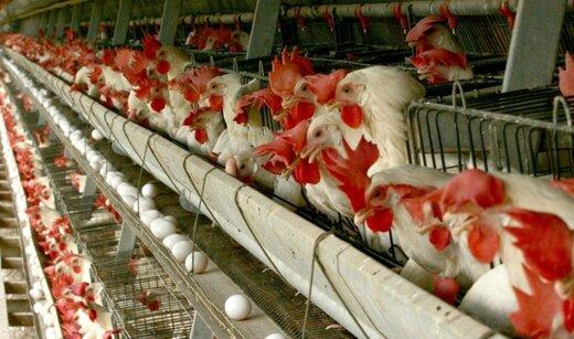 کف قیمت مرغ زنده به ۴۲ هزار تومان رسید