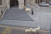 ببینید | محاصره و حمله غافلگیرکننده گوسفندها به شهرداری و مردم