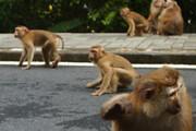 ببینید | یورش باورنکردنی هزار میمون به شهر لوپوری در تایلند
