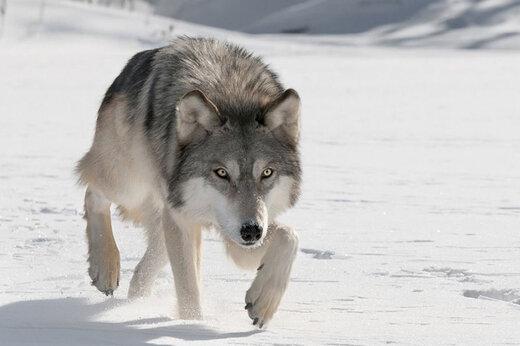 ببینید | تصاویر حیرتانگیز از گله گرگ خاکستری در منطقه شکار ممنوع سوادکوه